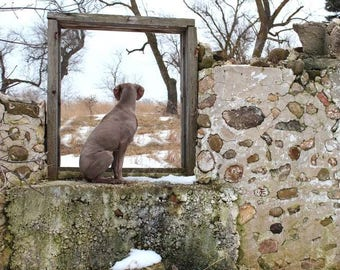 Dog Photography Art, 16x20 Canvas, Weimaraner Art, Gift for Dog Lover, Doggy in the Window