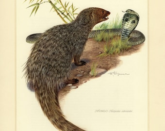 Vintage lithograph of the Egyptian mongoose from 1956