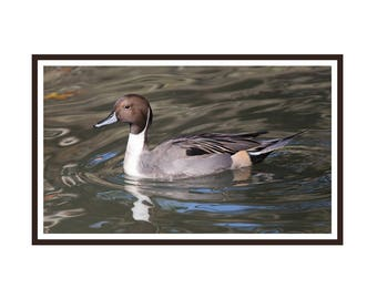 Pintail Drake note card package of 6