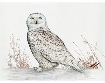 Snowy Owl 2018