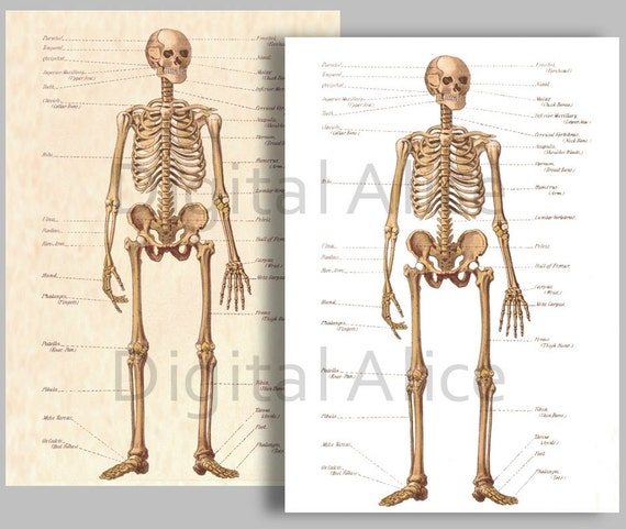 Bone Chart Ibovnathandedecker