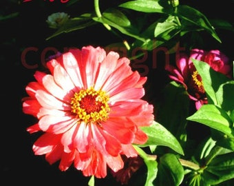 "giclee Quote Print ' Live, Laugh, Love"" Zinnia Flower"