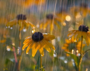 Black Eyed Susan in a Sunshower - Color Photo Print - Art Nature Photography (RS03)