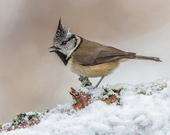 Crested Tit Singing In The Snow