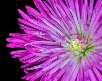 Pink Fuji Chrysanthemum Flower, Floral Wall Art  Canadian Fine Art Photography Print