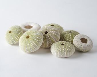 "Green Sea Urchins Seashells Beach Wedding Nautical Craft 1 1/2"" - 2 1/2"" (8 pcs)"