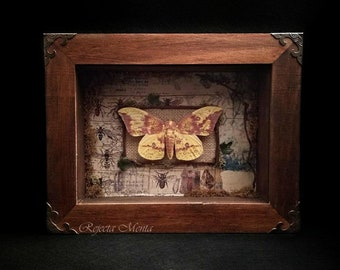 Imperial Moth, Framed Butterfly, Preserved Butterfly, Butterfly Shadow box, Insect Taxidermy, Entomology, Curiosities, Oddities, Botanical