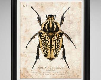 Goliath Beetle Vintage Style Scientific Illustration 8x10