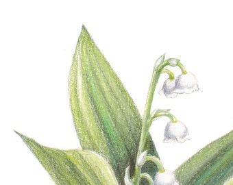 Lily of the valley, botanical illustration
