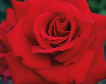 Grande Amore ™  Rose Bush - Repeat Blooming Fragrant Red Rose Grown Organic Potted - Own Root Non-GMO