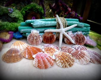 Seashells, Drilled, Beach Decor, Craft Supplies,  Nautical, Jewelry, Photo Props, Displays, Nature