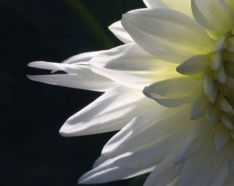 Flower Photo Art, Prints or Cards, featuring White Dahlia