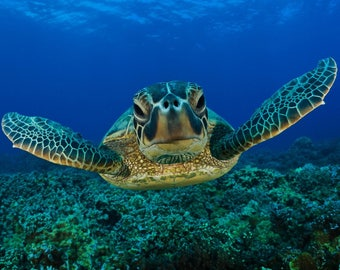 Sea Turtle 8 x 10 / 8x10 GLOSSY Photo Picture