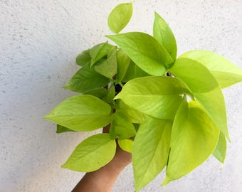 "Neon Pothos 4"" Pot Epipremnum Aureum Neon Beautiful Chartreuse Leaves Devils Ivy Pothos Epipremnum Very Easy to Grow Indoor House Plants"