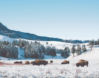 """bison, buffalo, yellowstone national park, wyoming, mammoth, lamar valley, winter, snow, large art prints, large wall art - """"Never be Tamed"""""""