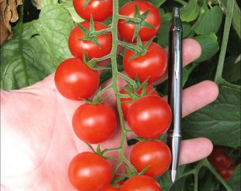 Cherry Tomato Large Red (select 50 thru 1/2 Pound seeds) Super Sale!!!!!!   #96