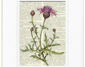 knapweed painting dictionary page print