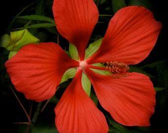 Aquatic Hibiscus Flower--Fine Art Photo Greeting Card-Suitable for Framing-Copyright Protected