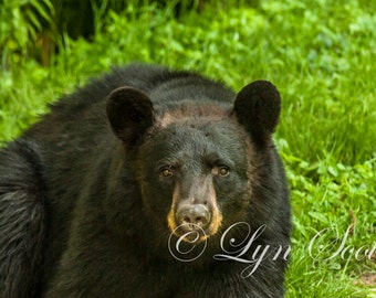 Black Bear -  Nature, Wildlife Photography, Fine Art Print, Landscape, Bear Photography, Bear, Black Bear