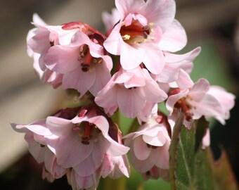 Pink Flowers (Digital Download)