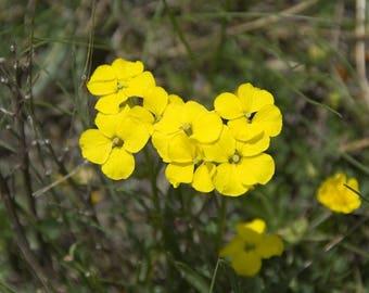 50 Alyssum montanum Seeds, Berggold Seeds