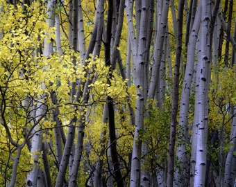 Aspen trees fall, Colorado art, fall tree photo, cabin decor, rustic home decor, yellow aspen leaves art, nature photography | Youngsters