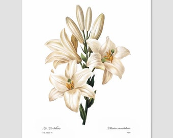 Lily Art (White Home Decor, Cottage Prints, Bedroom Flower Artwork, French Country Chic Loft, Antique Botanical Wall Art) Pierre Redoute