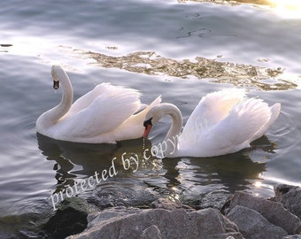 Evening Swans, Valentine's Day, Wedding, friendship card, blank write your own msg, romance love, bird lovers, feathers, wedding, bridal