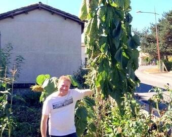 MAMMOTH SUNFLOWER KONG Seeds Russian 16 Feet Tall!!! Helianthus Giant Huge Bulk