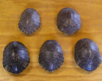 """5 - 7"""" River Cooter Turtle Shells"""