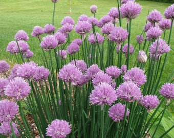 Chives Collection Onion & Garlic Two plugs Each