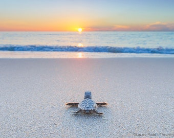 Baby Sea Turtle On The Beach Fine Art Photograph Print - Mother's Day Gift