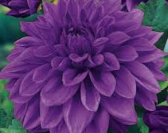 Dinnerplate Dahlia Seeds, Mixed Colors, Flowers Large as a dinner plate, Perennial Plant, Tubers as grown