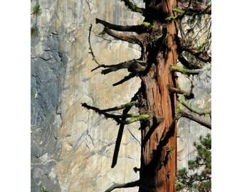 "Fine Art Color Nature Photography of Sequoia Tree in Yosemite Park  - ""Sequoia and El Capitan 1"""