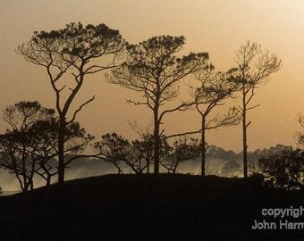 Pines at Sunrise  Grayton Beach State Park Florida Fine Art photo