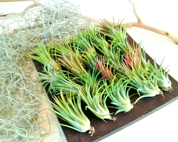 10 Air plants - FREE Moss - Wholesale air plants - Wedding favors ...