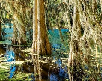 Florida Cypress Trees Fine Art Print - Travel, Scenic, Landscape, Nature, Home Decor, Zen