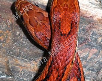 Digital Download Stock Photo two Okeetee Corn Snakes