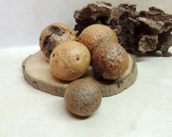 5 Piece collection Oak Gall's 24 to 26 grams, Oddity ~ Woodland Forest decor ~ Natural History Collection ~ Curiosity Cabinet18