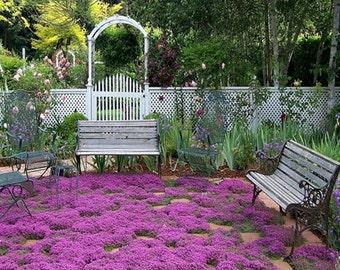 BULK 1,200 Creeping Thyme Seeds, Ground Cover, Fragrant, Zones 4 to 9, Low Growing, Garden Borders, Perennial, Thymus serpyllum