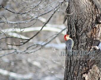 Red-Bellied Woodpecker - fine art photography - Bird, Home Decor, Wall Art