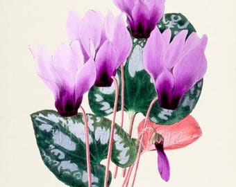 Lilac Persian Cyclamen Flower Art Print, Botanical Art Print, Flower Wall Art, Lilac Flower Print, Lilac Art Print, Floral,Home Decor,purple