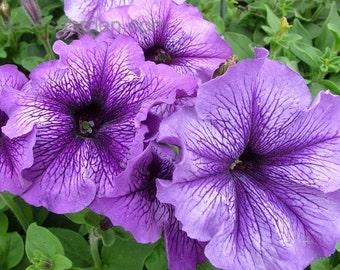APE) SUGAR DADDY-Blue Petunia~Seeds!!!!~~~~~~~Huge Veined Flowers!