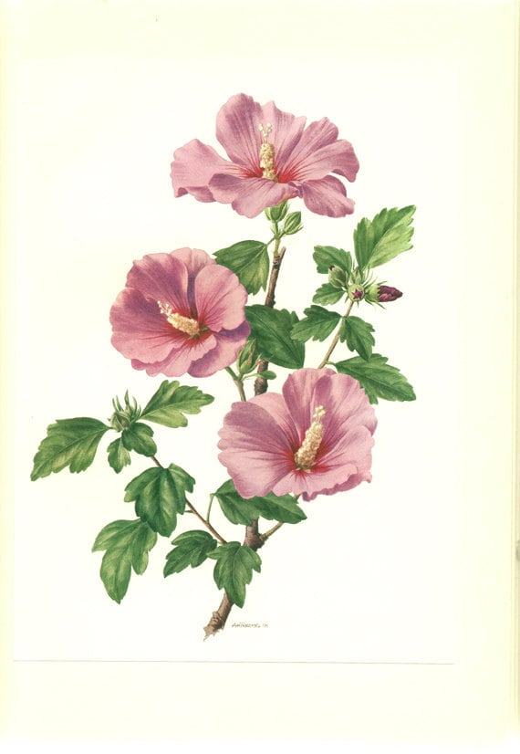 Hibiscus poster 1962 vintage botanical art floral wall decor like this item teraionfo