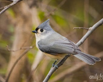 Tufted Titmouse photography print, wall art, bird photography, fine art print, 5x7 print