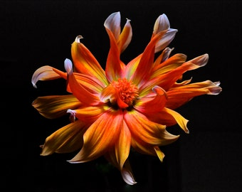 Dahlia- Fine Art Photo Blank Greeting Card--Suitable for Framing-Copyright Protected
