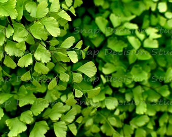adiantum, delta maidenhair fern, green, lush