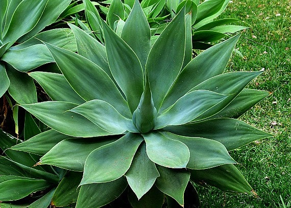 fox tail agave agave attenuata 15 seeds soft blue