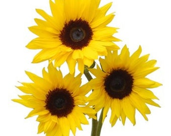 Fresh Sunflowers, Natural Sunflowers, Fresh Cut Sunflowers, bulk flowers, spring flowers, fresh flowers
