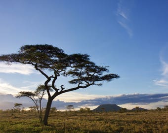 Serengeti, Tanzania, East Africa • Acacia tree at sunset • Landscape photograph printed on canvas, fine art matte paper, or engineer paper